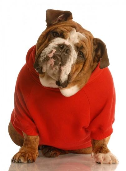 Bulldog in a sweater