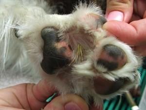 Foxtail Paw