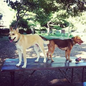 "Melo & Sampson enjoy ""Social Hour"" at Ohlone Dog park in Berkeley, Ca."