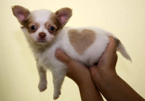 Pet Shop Displays Chihuahua With Unique Heart-Shaped Marking